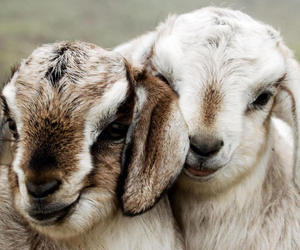 animals, goats, and nature image