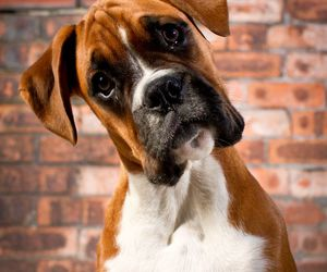 dog, cute, and boxer image