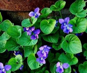 flower, цветы, and фиалки image