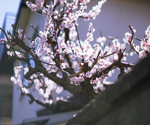 beautiful, blossom, and cherry blossom image