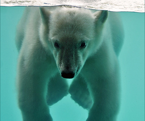 Polar Bear, explore, and water image