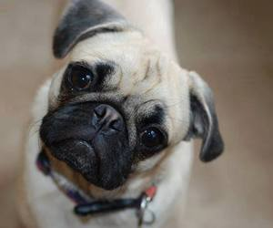 adorable, leash, and pug image