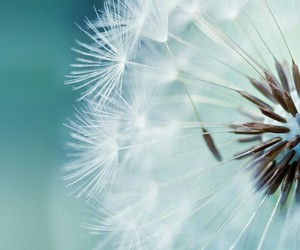 flowers, dandelion, and white image