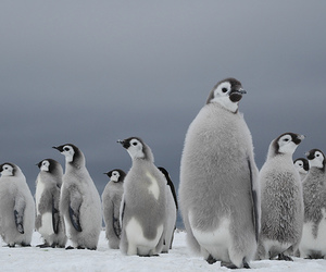 animal, penguins, and snow image