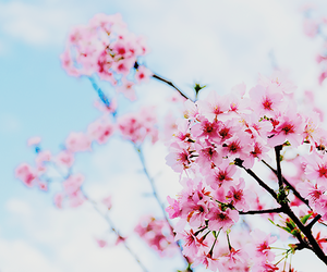 flowers, cherry blossom, and pink flowers image