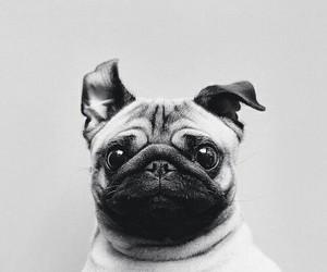 pug, wallpaper, and dog wallpaper image