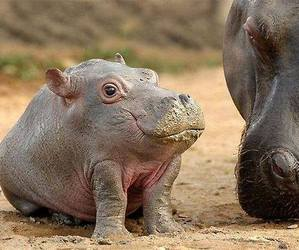 baby, animal, and hippo image