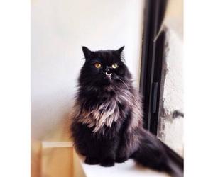blackcat, cats, and princess image