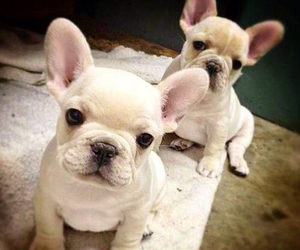 dog, puppies, and frenchie image