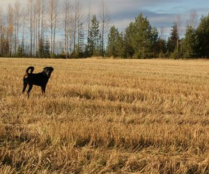dog, field, and rottweiler image