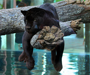 animal, panther, and nature image