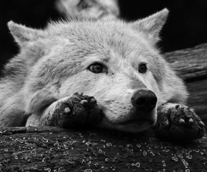 wolf, black and white, and animal image