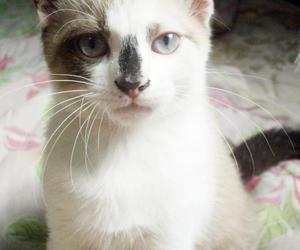 blue, blue eyes, and cats image