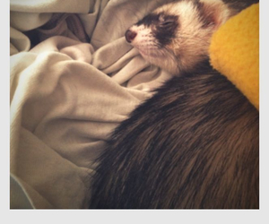 adorable, ferret, and girl image