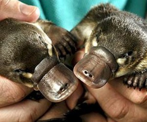 Platypus and cute image