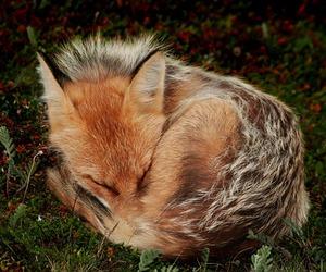fox, animal, and nature image