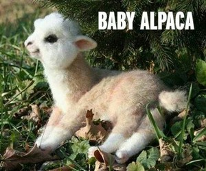 alpaca, animal, and baby image
