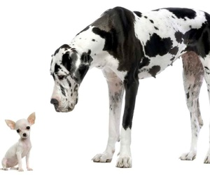 chihuahua, great dane, and dog blog image