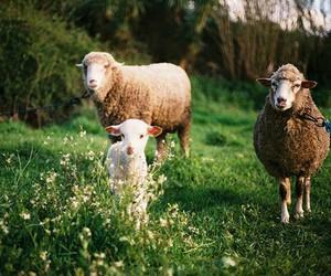 تفسير رؤية رأس الخروف في الحلم معنى راس خروف في المنام