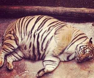 tiger, fat, and animal image