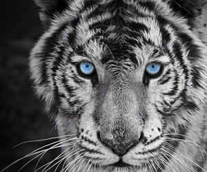 blue, eyes, and lion image