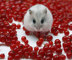 hamster, cute, and mouse image