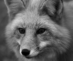 animal, black, and black and white image