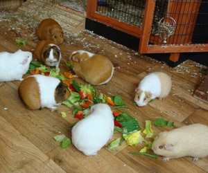 eating, food, and guinea image
