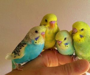 beautiful, birds, and budgie image