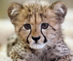 animal, cheetah, and baby image