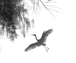 b&w, birds, and bird image