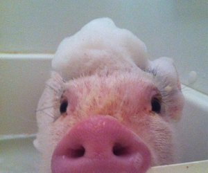 pig, cute, and bath image