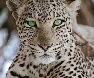 animals, eyes, and cheetah image