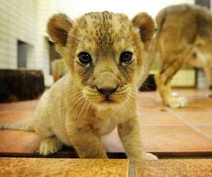 baby animals, big cats, and cubs image