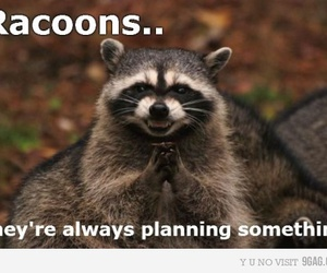 fun, racoon, and text image
