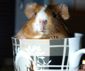 guinea pig, lovely, and sweet image