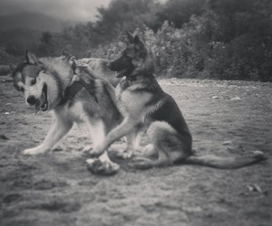 dogs, friendship, and german shepherd image
