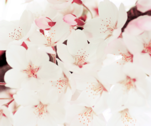 pink, cherry blossom, and flower image