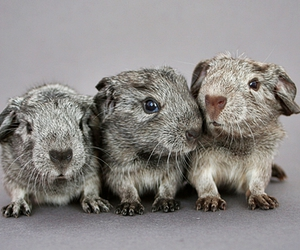animal, baby, and guinea pig image