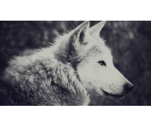 beautiful, wolf, and black and white image