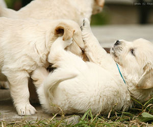 adorable, game, and golden retriever image