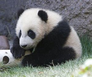 panda, yun zi, and san diego zoogiant panda image