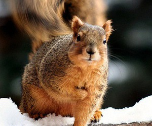 animals, squirrel, and cute image