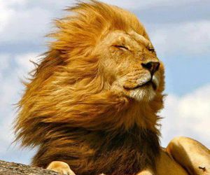 lion, animal, and wind image