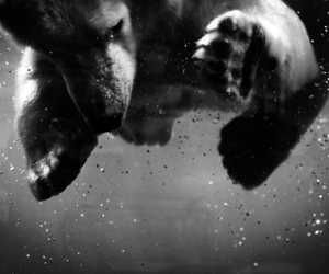 black and white and Polar Bear image