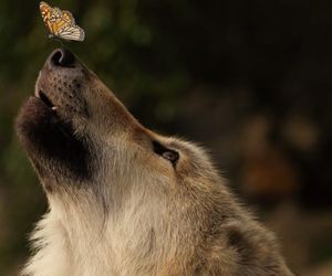 animal, wolf, and butterfly image