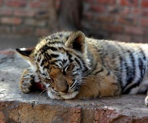 baby tiger image