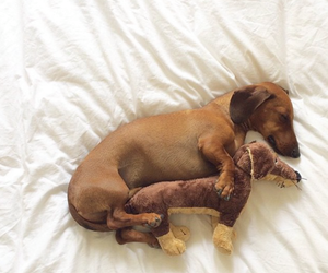 daschund, dog, and cute image
