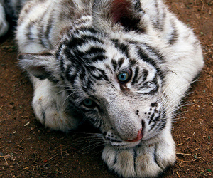 cute and tiger image