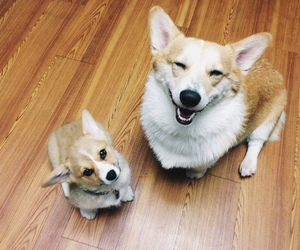 corgi, dogs, and happy image